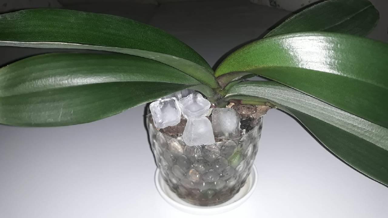 orkide-bakimi-buzla.jpg