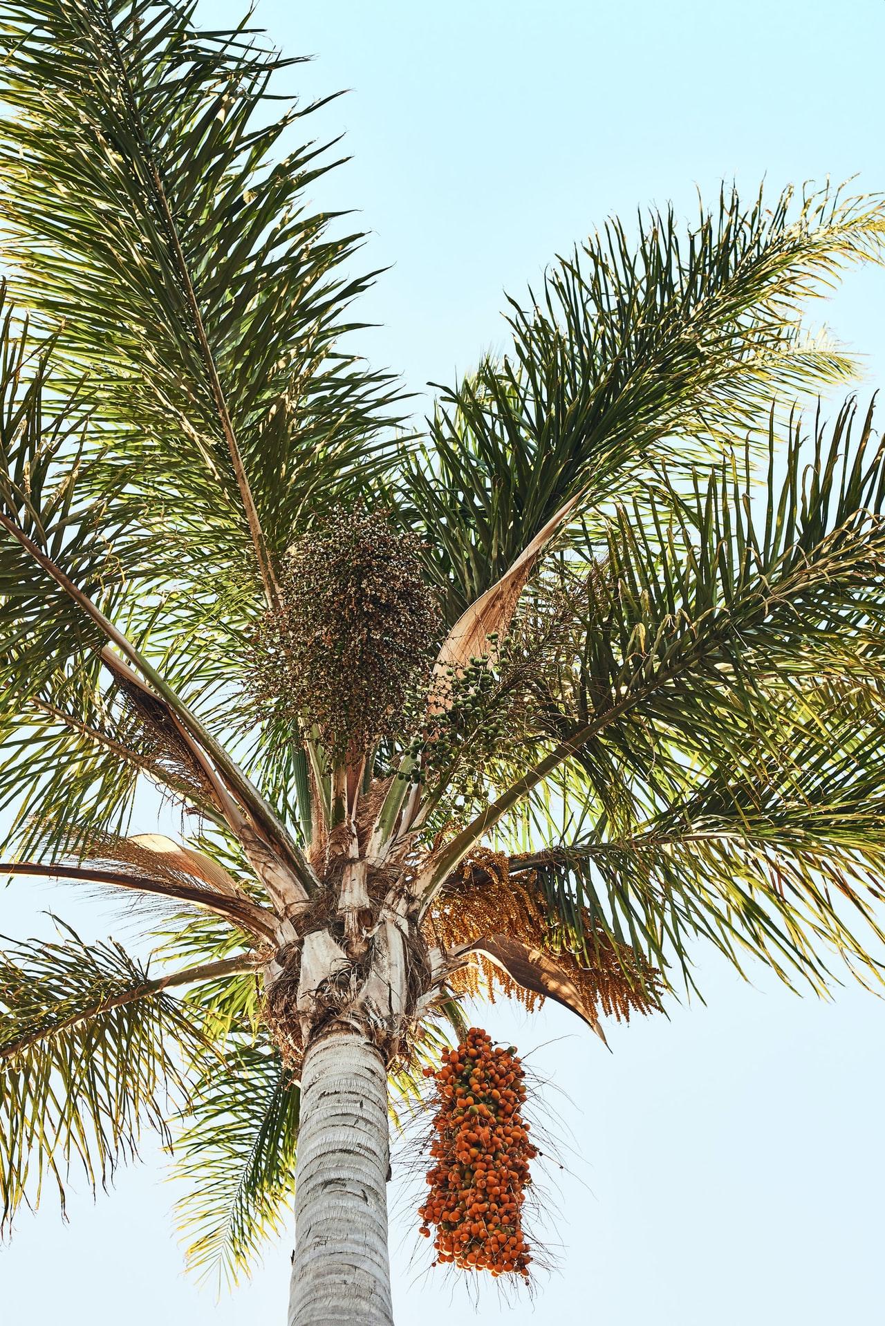 hurma ağacı